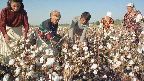 fairly paid workers harvesting organic cotton from a field